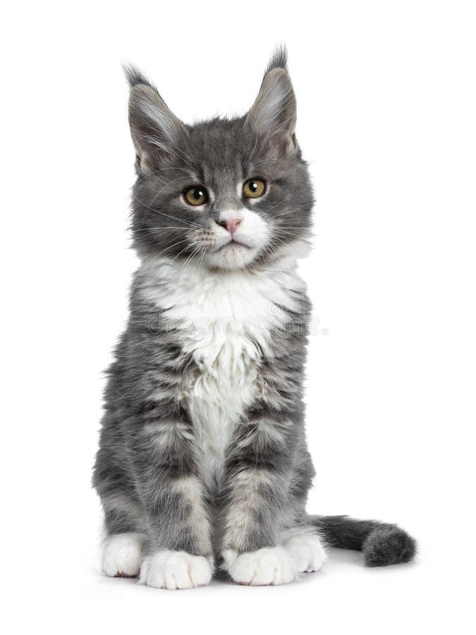 Charmant leuk blauw met wit Maine Coon-kattenkatje op wit royalty-vrije stock fotografie