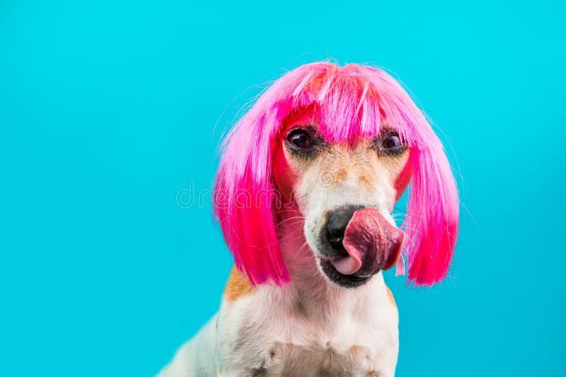 Charmante damehond die in roze pruik op blauwe achtergrond likken royalty-vrije stock fotografie