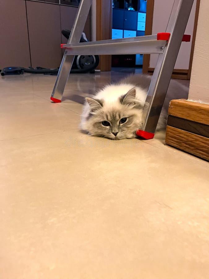 Charmante jonge witte kat die onder de ladder op de vloer binnen een huis liggen royalty-vrije stock foto