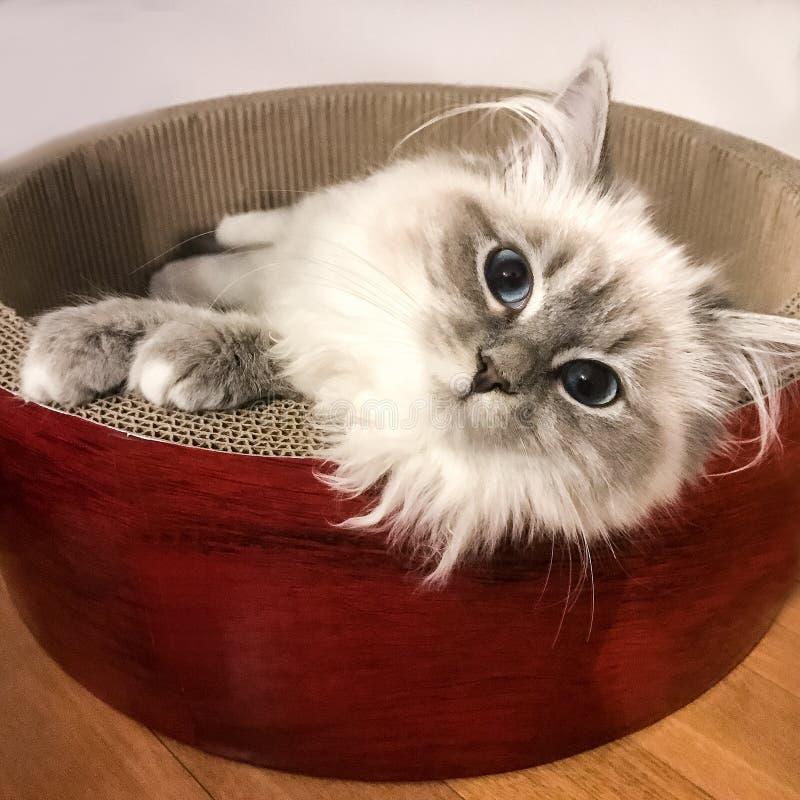 Charmante jonge witte kattenzitting op de rode mand op de bruine vloer binnen huis stock fotografie