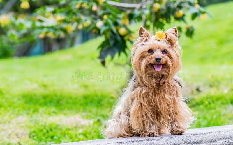 Charmante vrouwelijke die hond met een gele bloem op zijn hoofd wordt verfraaid stock fotografie
