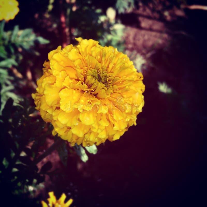 Charme de beauté d'une fleur de soirée photos libres de droits