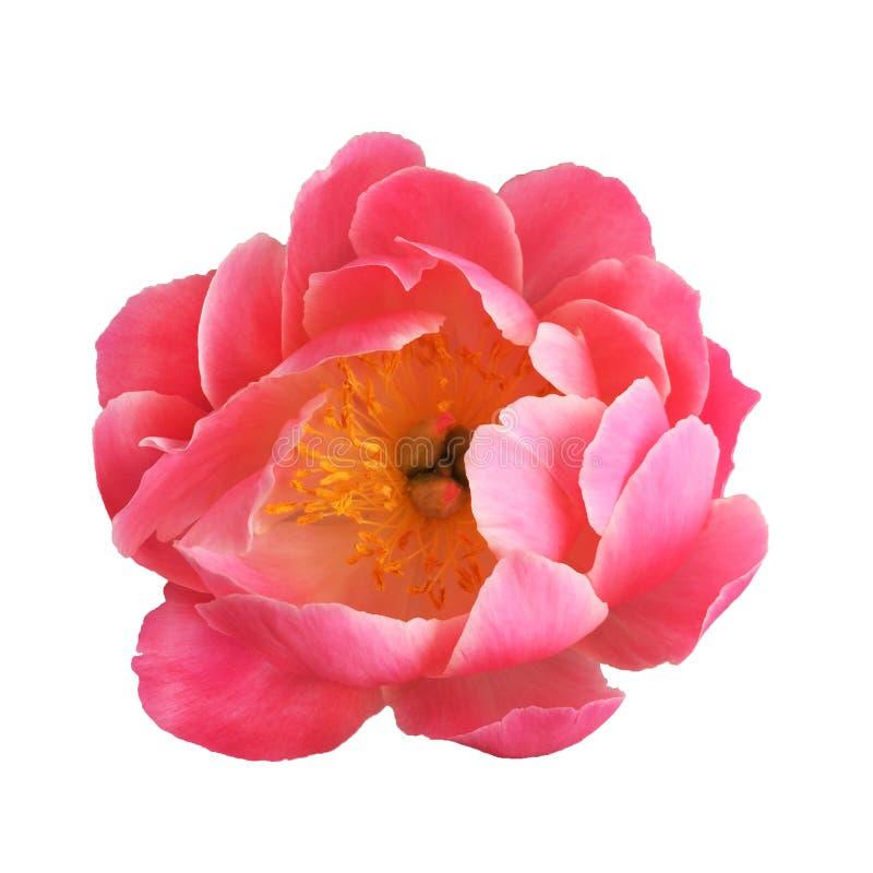 Charme de corail de belle fleur de pivoine en fleur d'isolement sur le fond blanc Tendance de corail vivante de couleur de l'anné photo libre de droits