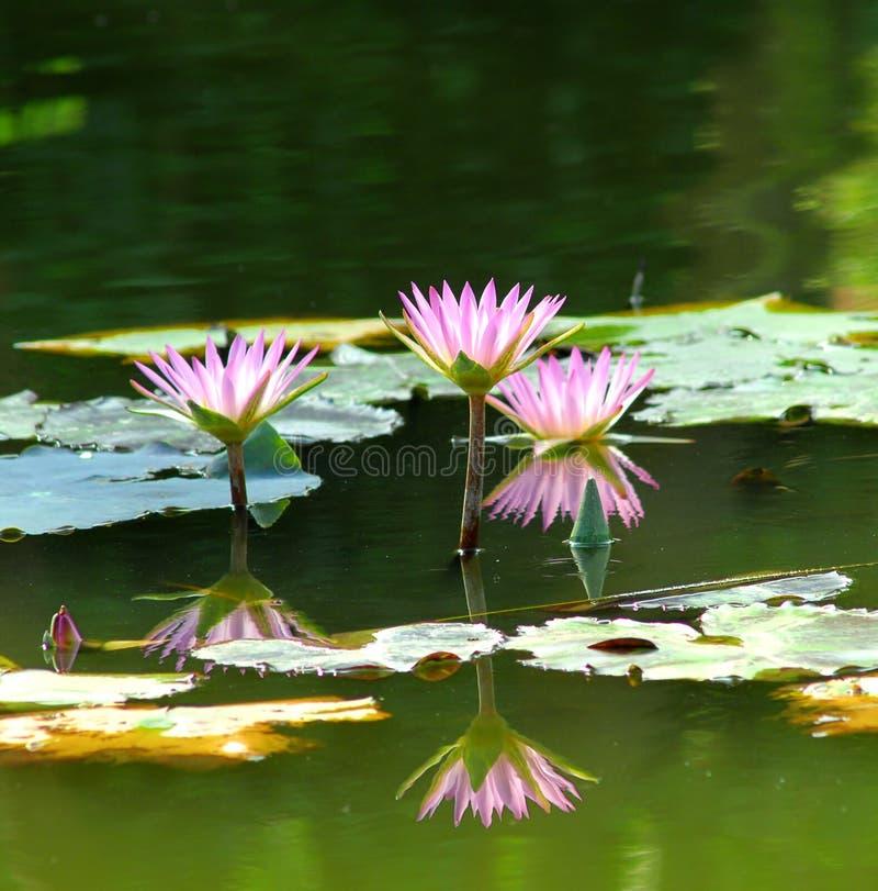 charmig lotusblomma royaltyfria bilder