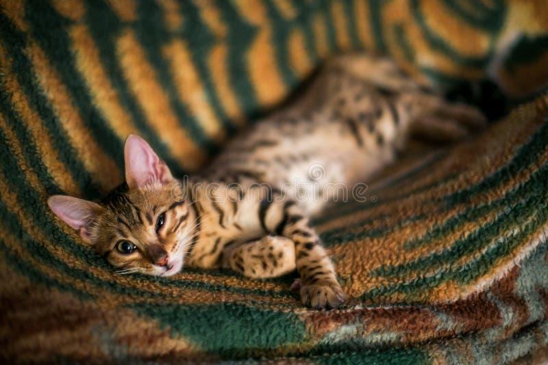 Charming bengal cat royalty free stock photos