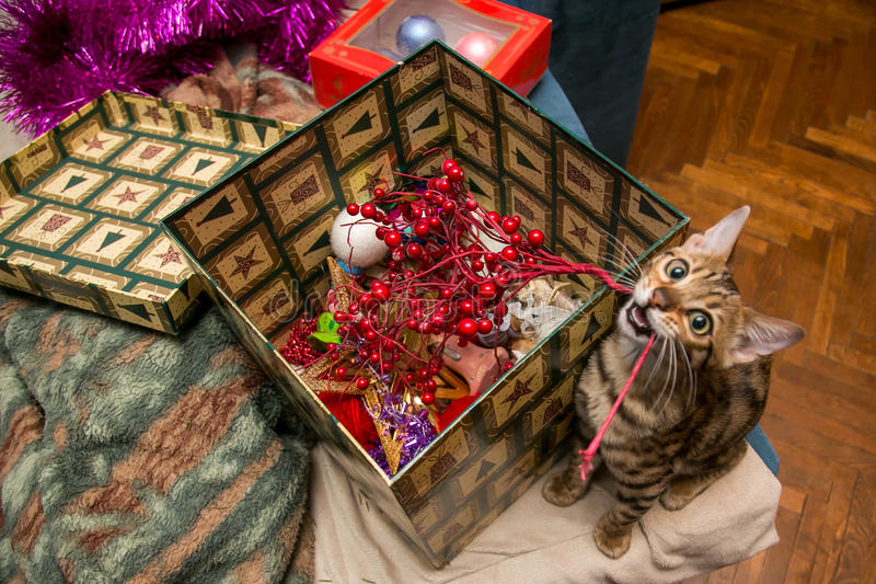 Charming bengal christmas cat royalty free stock image