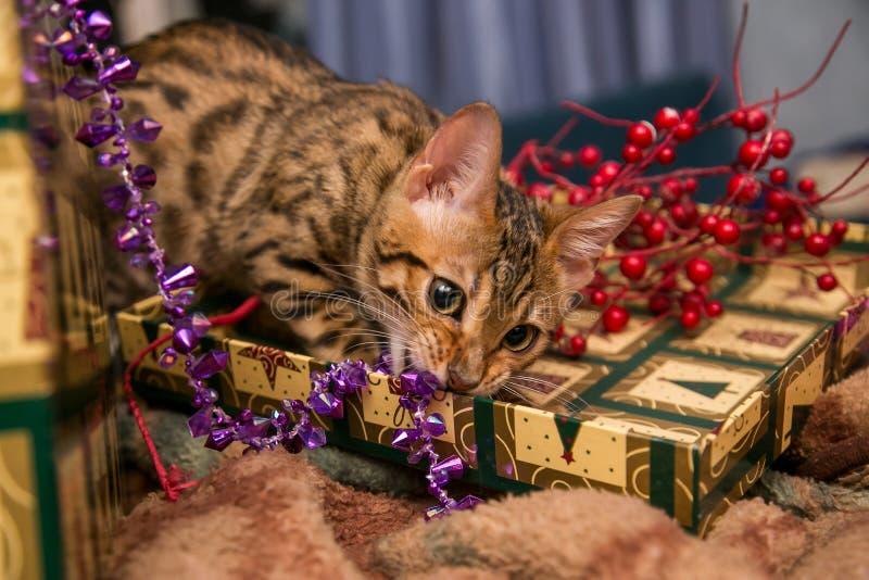 Charming bengal christmas cat stock photo