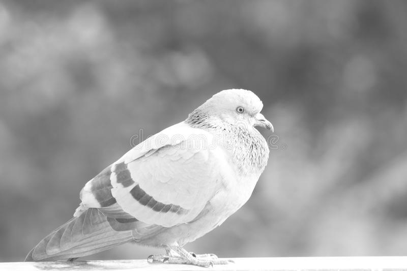 Bird`s Profile : Pigeon looking Forward stock photography