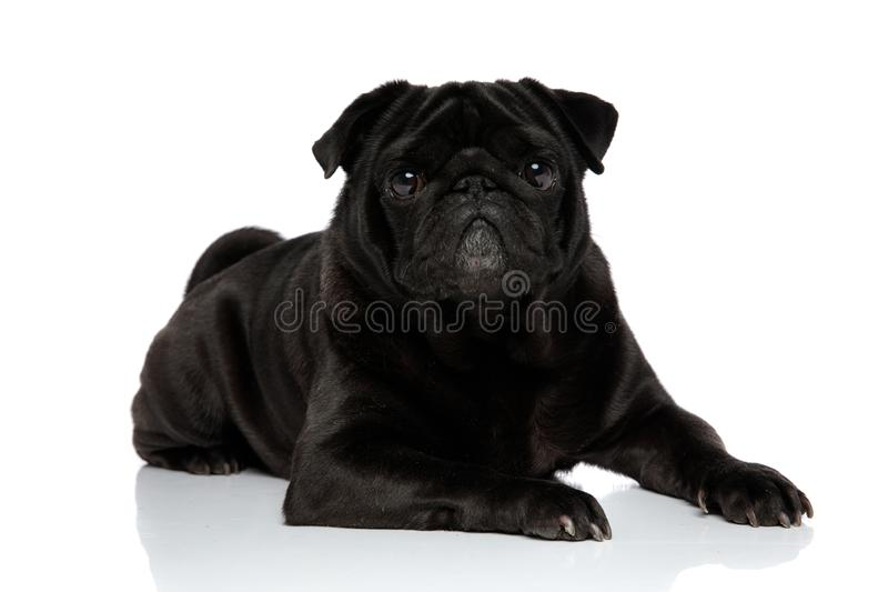 Charming black pug looking to the camera stock image