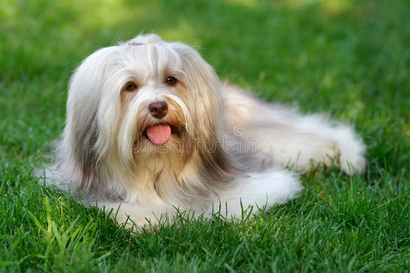 Charming chocolate colored havanese dog in the grass royalty free stock image