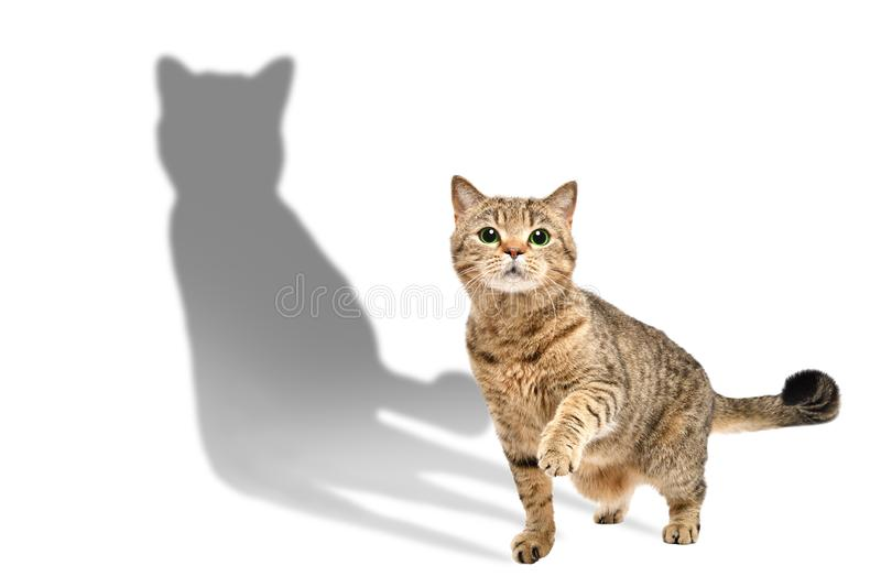 Charming curious cat Scottish Straight standing with shadow royalty free stock photography