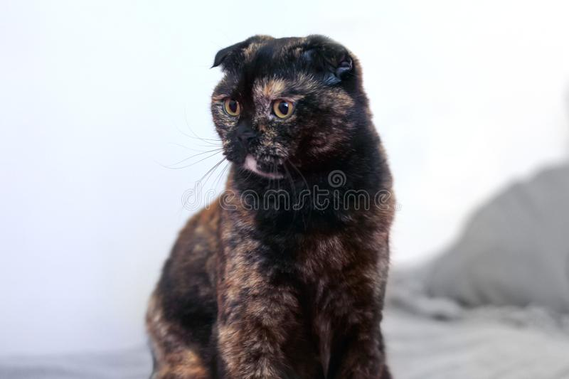 Charming curly cat Scottish fold sits on the bed and looks with big yellow eyes to the side. Color black turtle. royalty free stock image