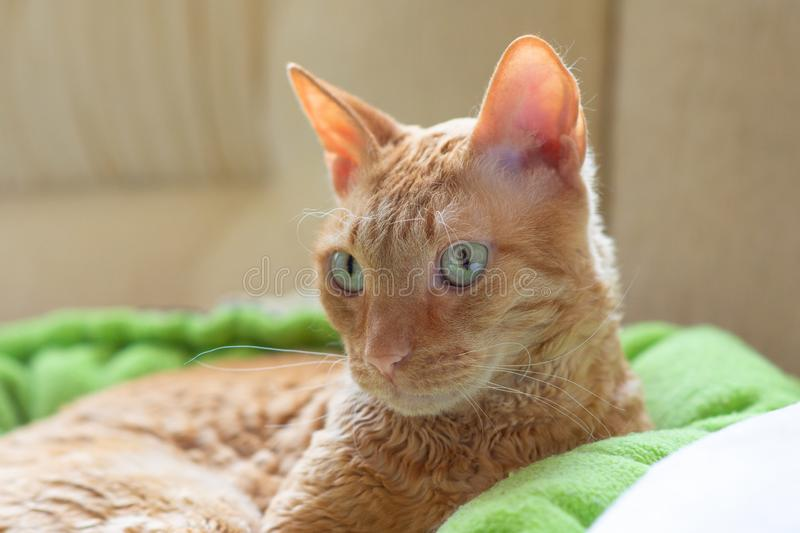 Charming curly cat Ural Rex lies and looks with green eyes. Charming curly cat Ural Rex lies on the bed in front of the window and looks green eyes to the side royalty free stock photos
