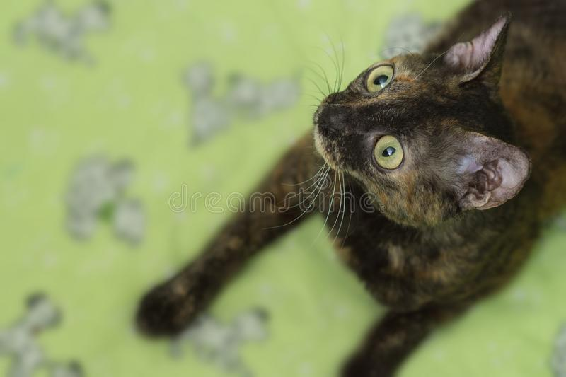 Charming curly cat Ural Rex lies on the bed and looks up with big green eyes. Color black turtle. The concept of a rare breed of cats and an exclusive pet stock image
