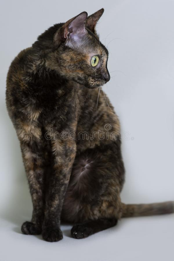 Charming curly cat Ural Rex sits on the bed and looks with big green eyes to the side. Color black turtle. The concept of a rare breed of cats and an exclusive stock photo