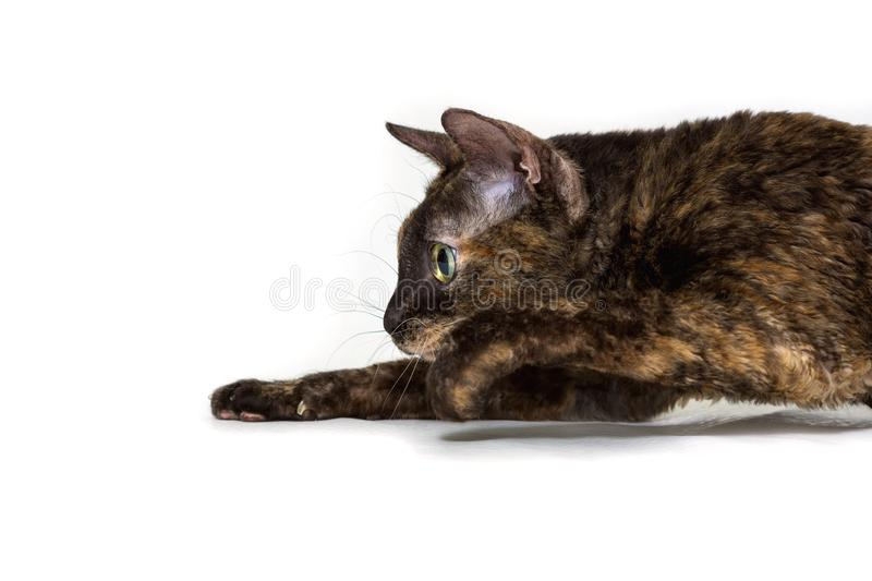 Charming curly cat Ural Rex sneaks on the floor and looks at the prey with big green eyes.. Color black turtle. The concept of a rare breed of cats and an stock image