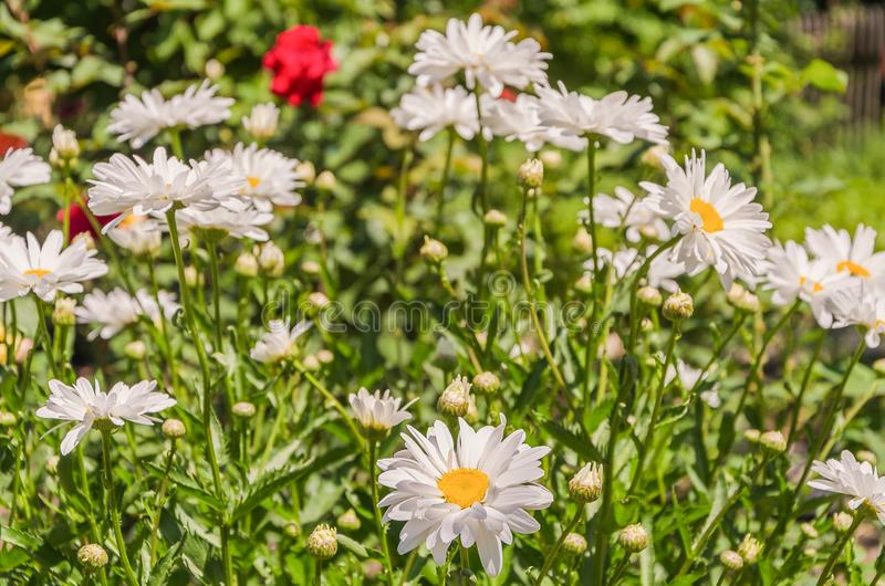 Charming daisies under the rays of the sun royalty free stock photo