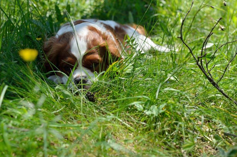 Charming Dog, Cavalier King Charles Spaniel (Blenheim) After Run. Charming Dog, Cavalier King Charles Spaniel (Blenheim) resting on green forest meadow stock photo