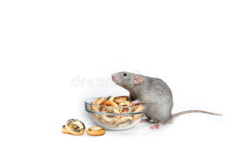 A charming dumbo rat on a white isolated background eats drying. Cute pet. The symbol of 2020. Chinese New Year. stock photos
