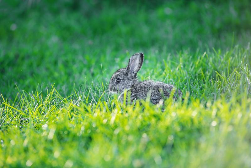 Charming grey bunny sitting in a fresh green grass royalty free stock photo