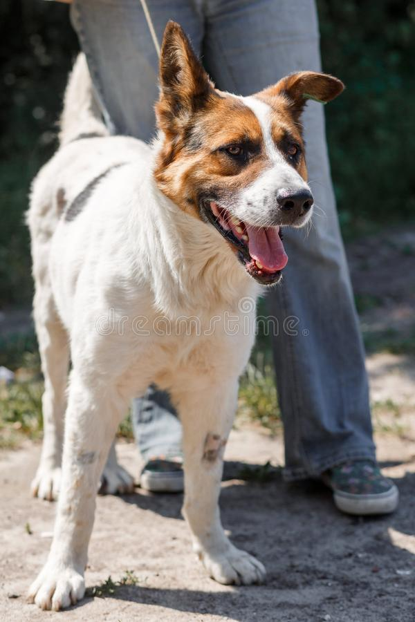 Charming little mixed breed shepherd dog smiling outdoors while on a walk in the park with female owne. R, dog adoption concept royalty free stock images