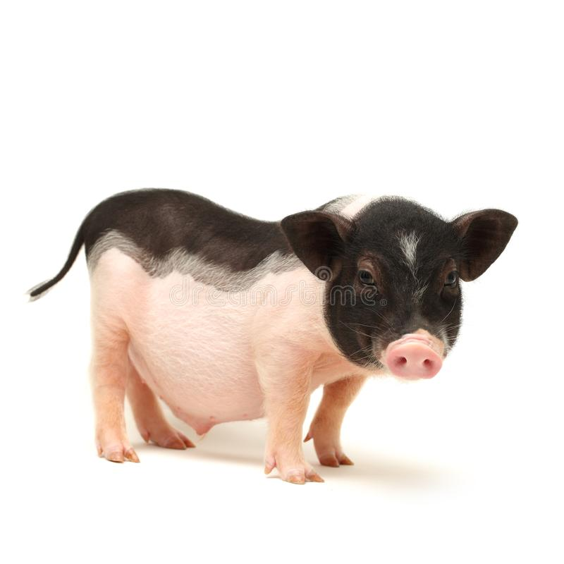 charming little pig royalty free stock photography