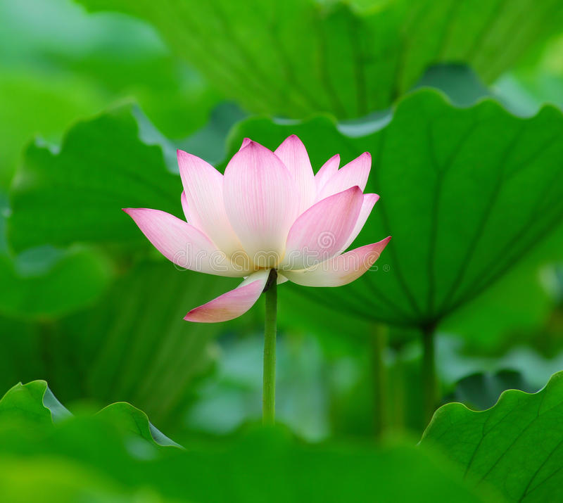 Download Charming lotus stock photo. Image of flora, holiday, color - 10590188