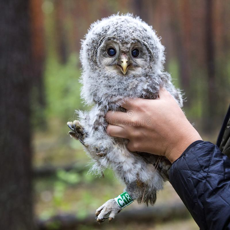 Charming owl nestling in the hands of a man. Ringed bird stock images