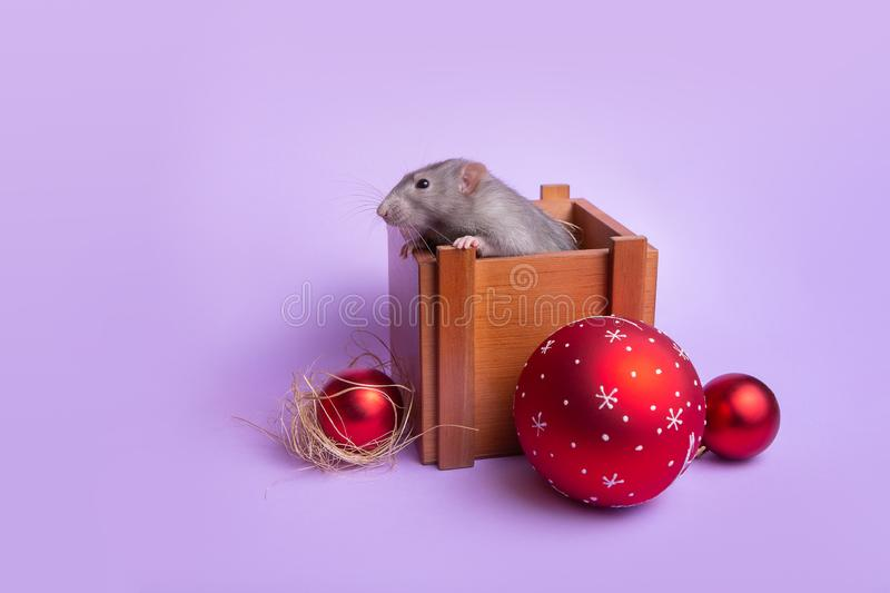 Charming pet. Decorative rat dumbo in a wooden box on a lilac background. New Year`s toys. Year of the rat. Chinese New Year. Decorative rat dumbo in a wooden stock photo