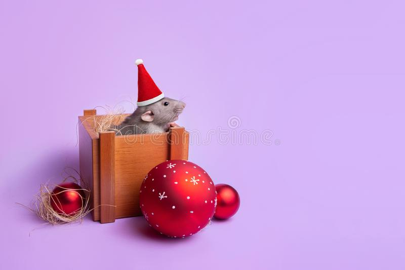 Charming pet. Decorative rat dumbo in a wooden box on a lilac background. New Year`s toys. Year of the rat. Chinese New Year. Decorative rat dumbo in a Santa hat royalty free stock images