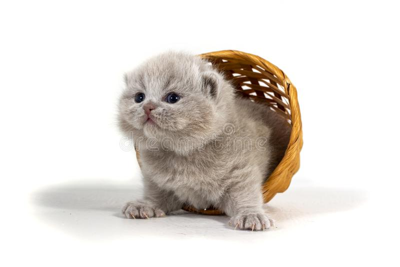 A charming purple kitten fell out of a wicker basket on a white background. Age two weeks royalty free stock photos
