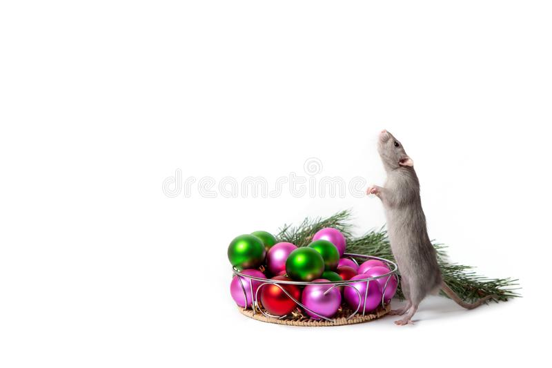 Charming rat Dumbo stands on its hind legs next to Christmas tree toys. New Year card, symbol of the New Year royalty free stock photos