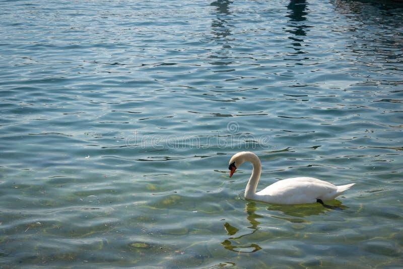 Charming scène van de witte zwaan die in het meer drijft stock afbeelding
