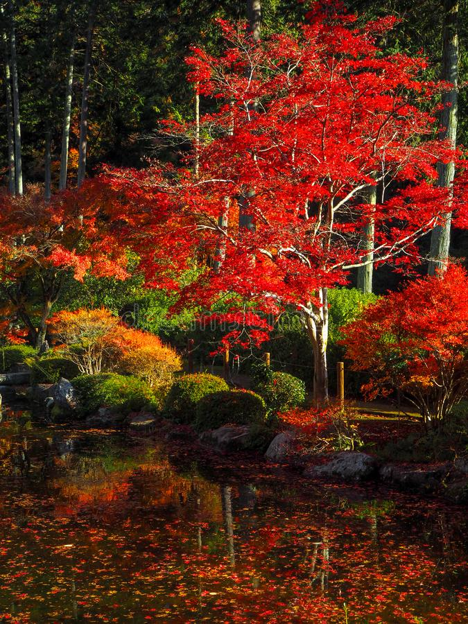 Charming scene of colorful red maple tree  with small pond in japanese temple garden. Kyoto, Japan royalty free stock photos
