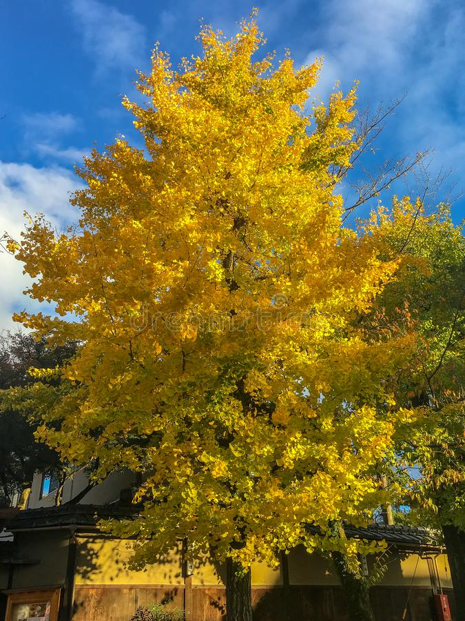 Charming scene of colorful yellow ginkgo tree with blue sky background. With copy space royalty free stock photography