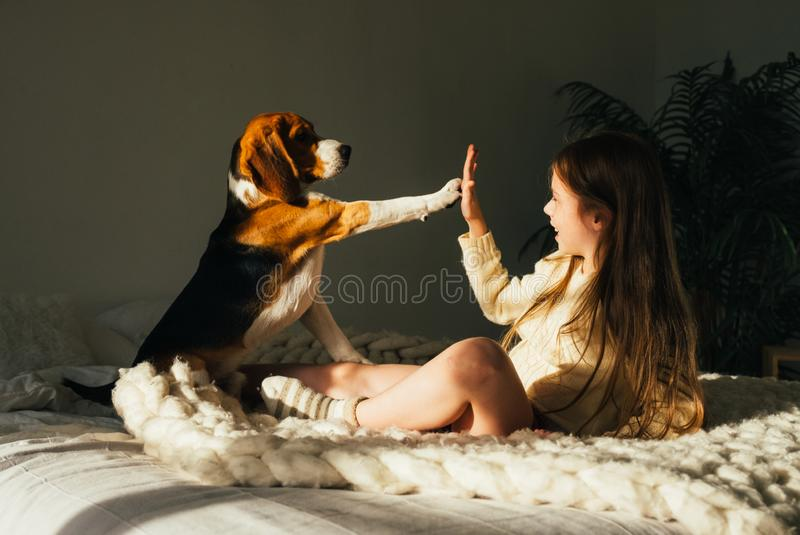 Charming young girl lying on sofa, looking at beagle dog and gives high five. Smiling cute child resting with puppy. In sunny morning room stock photos