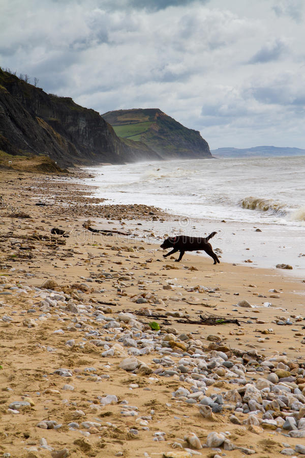 Charmouth海滩的黑色拉布拉多在多西特 库存图片