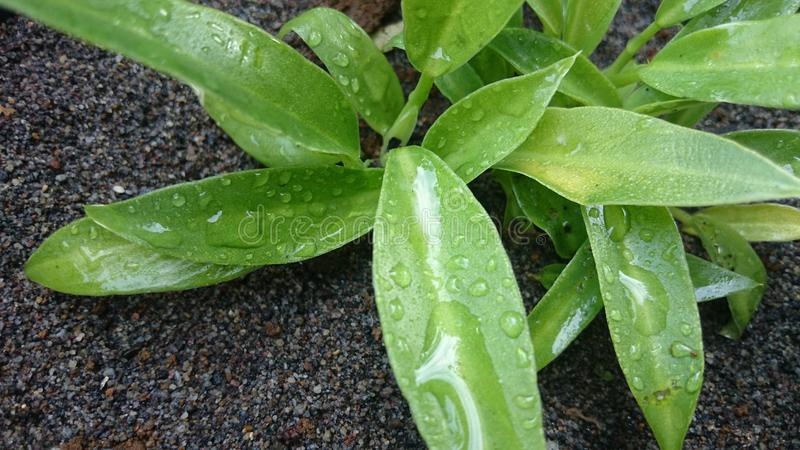 Charms of leaves that are wet with morning dew. Charms of green leaves that are wet with morning dew royalty free stock images