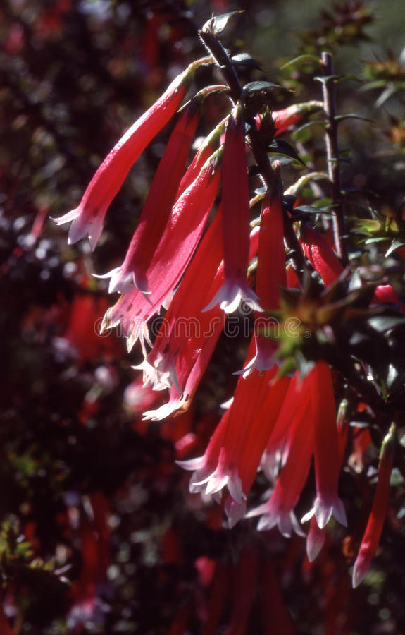 Charneca cor-de-rosa imagens de stock