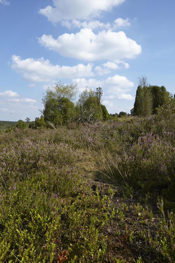 Charneca de Luneburg - charneca com céu azul e as nuvens brancas imagens de stock