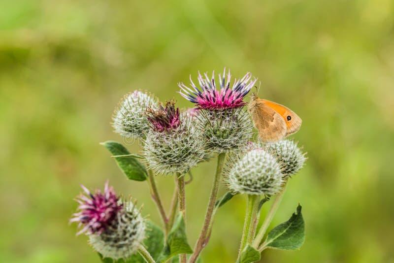 A charneca pequena, uma borboleta alaranjada e marrom, no cardo imagem de stock