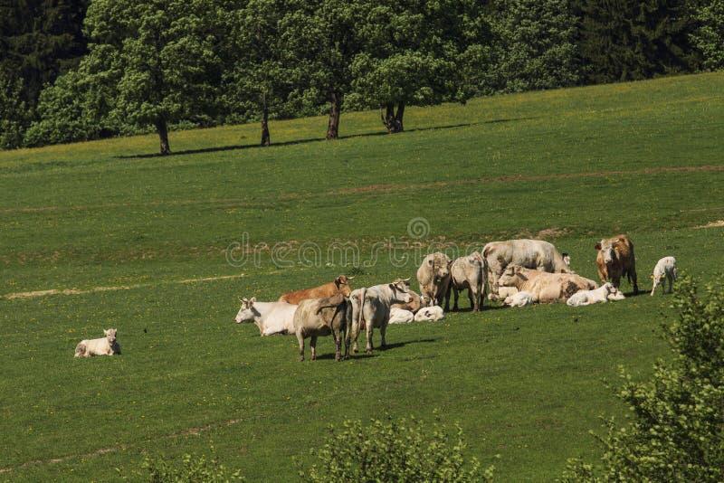 Charolais устрашают управляли на выгоне стоковое фото