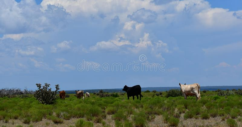 Charolais and Angus Cattle in a field in Texas. The Charolais cow and bull have light tan colored fur and are grown in middle Texas for beef. The black angus is royalty free stock photos