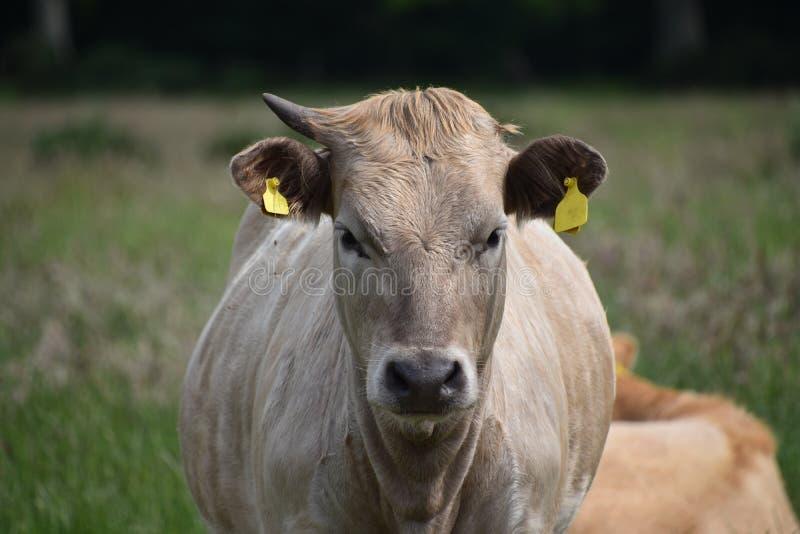 Charolais Angus cross bull stock image