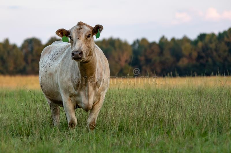 Charolais beef cow in knee-high grass. White Charolais crossbred beef cow standing in knee-high grass with blank area for copy to the right royalty free stock photography