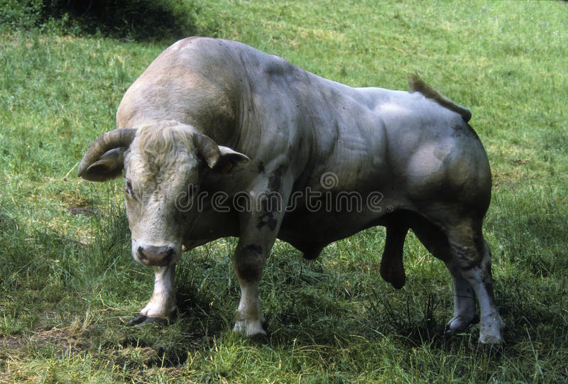 Download Charolais bull stock photo. Image of male, mating, graze - 12129862