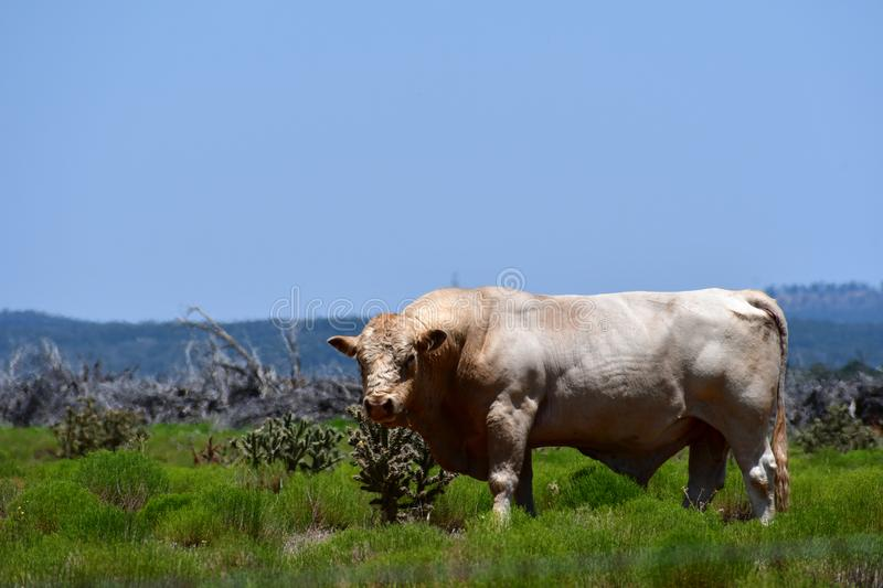 Charolais Cattle in a field in Texas. The Charolais bull has light tan colored fur and is grown in middle Texas for beef. Although Charolais cows are used stock photo
