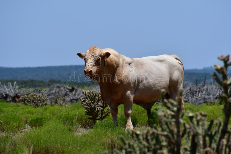 Charolais Cattle in a field in Texas. The Charolais bull has light tan colored fur and is grown in middle Texas for beef. Although Charolais cows are used stock photography