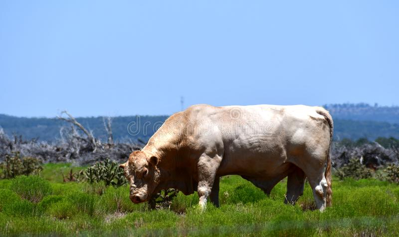 Charolais Cattle in a field in Texas. The Charolais bull has light tan colored fur and is grown in middle Texas for beef. Although Charolais cows are used royalty free stock photo