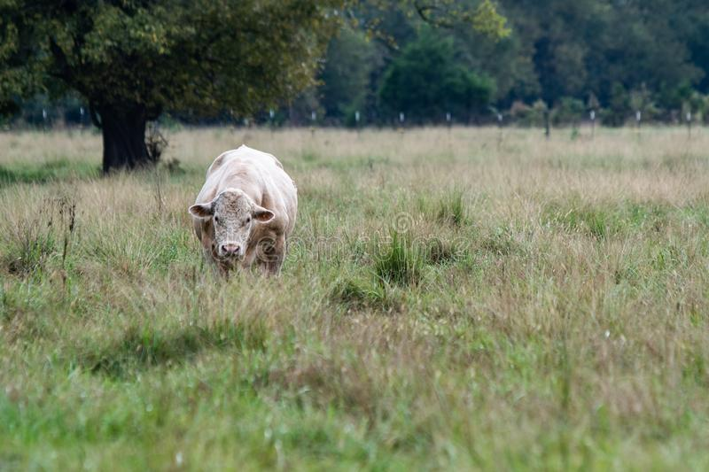 Charolais bull standing in tall pasture royalty free stock image